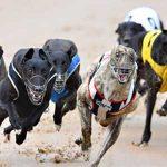 Aus-Greyhounds